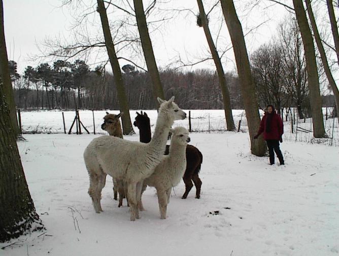 alpagas à la neige