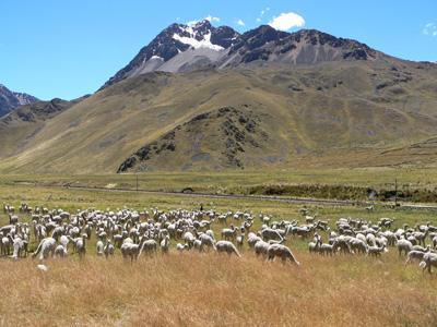 troupeau en montagne