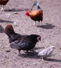 poules et paons